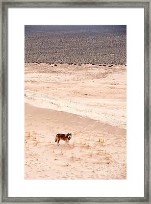 Alaskan Malamute At Mojave National Framed Print by Mark Newman