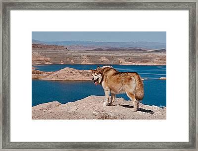 Alaskan Malamute Framed Print by Mark Newman