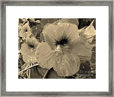 Alaskan Rose Two Framed Print