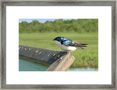 Alaskan Swallow Framed Print