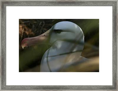 Framed Print featuring the photograph Albatross by Amanda Stadther