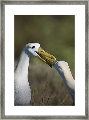 Albatross Courtship Framed Print by Richard Berry