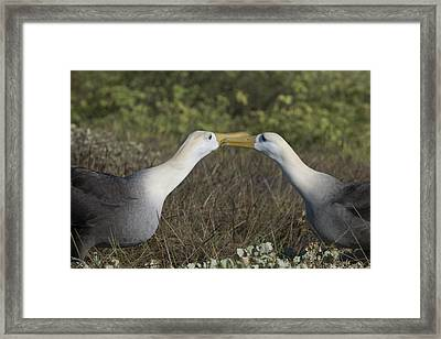 Albatross Perform Courtship Ritual Framed Print by Richard Berry