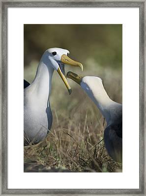Albatross Perform Mating Ritual Framed Print by Richard Berry