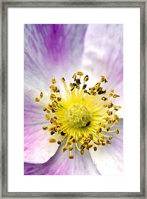 Alberta Wild Rose Framed Print by Dee Cresswell