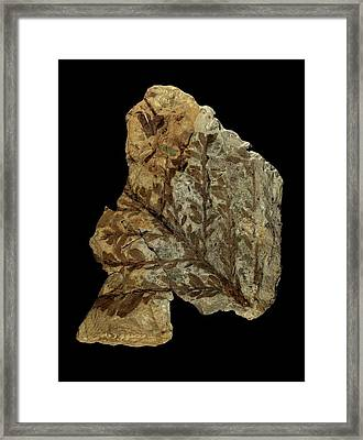 Albertia Conifer Fossil Framed Print