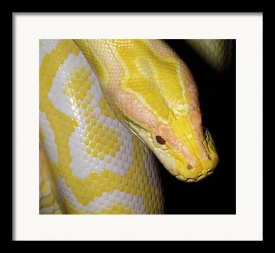 Burmese Python Framed Prints
