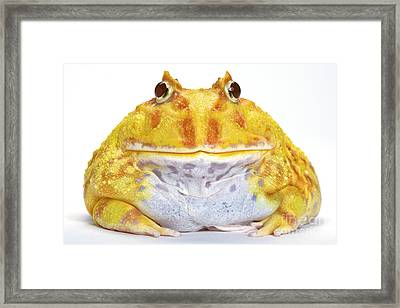 Albino Chacoan Horned Frog Framed Print by Michel Gunther