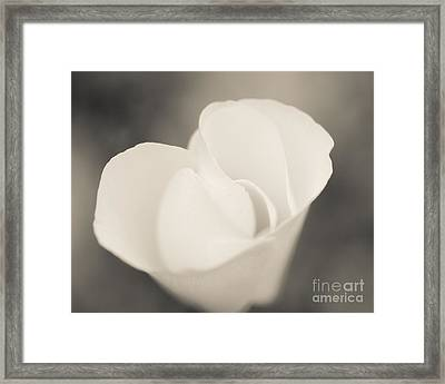 Albino Mexican Gold Poppy Framed Print