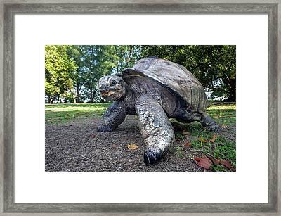Aldabra Giant Tortoise Framed Print by Peter Chadwick