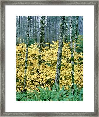 Alders And Vine Maples, Clatsop County Framed Print