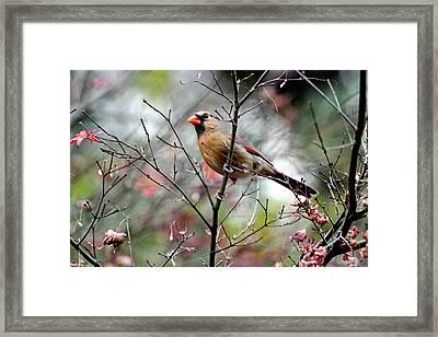 Alert - Northern Cardinal Framed Print