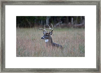 Alert Buck Framed Print