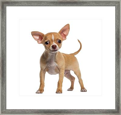Alert Chihuahua Puppy 3 Months Old Framed Print by Life On White
