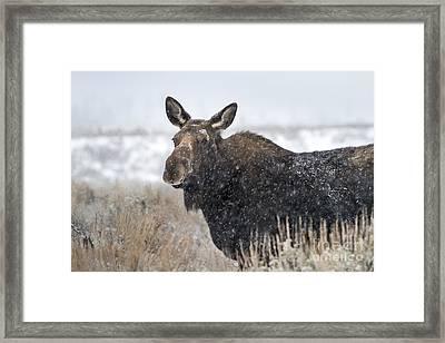 Alert Cow Moose In Snow Framed Print by Mike Cavaroc