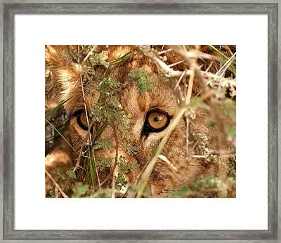 Alert Lion Framed Print by Nian Chen