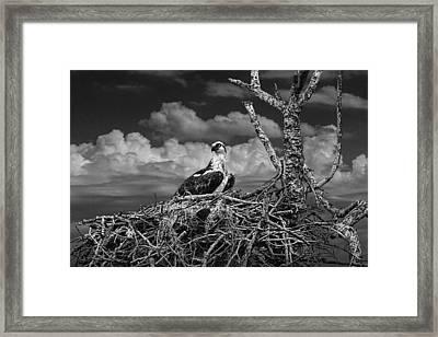 Alert Osprey On It's Nest Framed Print by Randall Nyhof