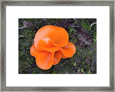 Aleuria Aurantia Fungus Framed Print by Nigel Downer