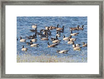 Aleutian Cackling Geese Framed Print