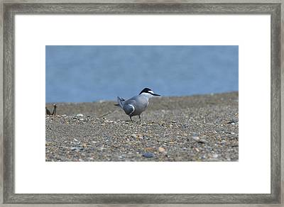Aleutian Tern Framed Print by James Petersen