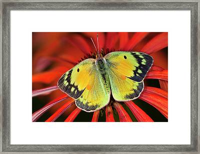 Alfalfa Butterfly On Cone Flower Framed Print