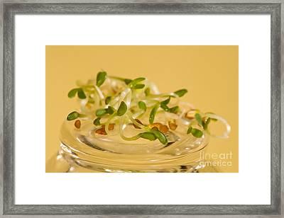 Alfalfa Framed Print