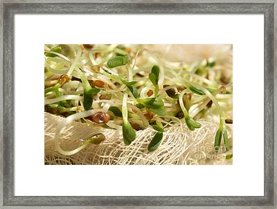 Alfalfa Sprouts Framed Print by Iris Richardson