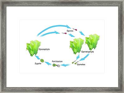 Algae And Plant Life-cycle Framed Print by Mikkel Juul Jensen