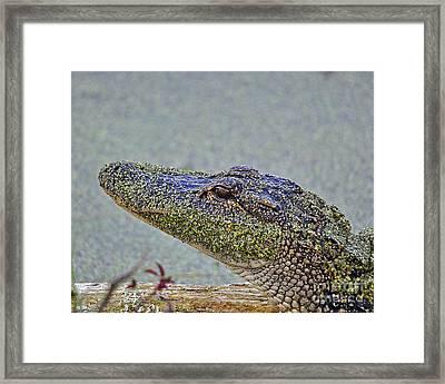 Algae Gator Framed Print