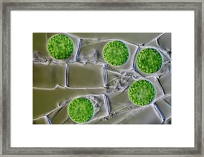 Algal Cysts Framed Print