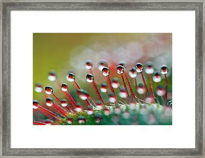 Alice Sundew Hairs Framed Print