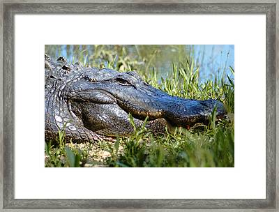 Alligator Smiling Framed Print