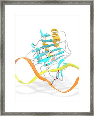 Alkb In Complex With 1-methyl Adenine Framed Print by Ramon Andrade 3dciencia