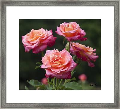 All-america Roses Framed Print