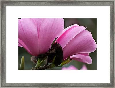 Pink Magnolia Framed Print by Sabine Edrissi