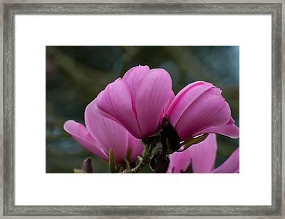 Pink Magnolia 2 Framed Print by Sabine Edrissi