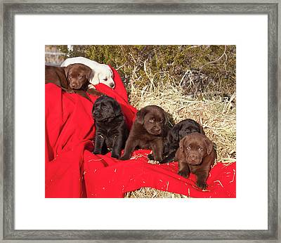 All Three Colors Of Labrador Retriever Framed Print by Zandria Muench Beraldo