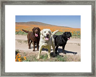 All Three Colors Of Labrador Retrievers Framed Print by Zandria Muench Beraldo