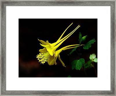All Yellow Columbine Framed Print