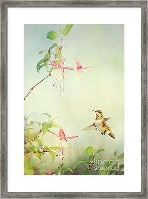 Allen's Hummingbird And Fuschia Framed Print