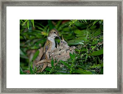 Allens Hummingbird Feeds Young Framed Print