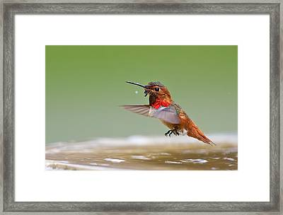 Allen's Hummingbird Framed Print by Thy Bun