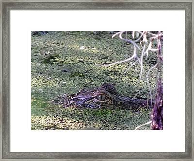 Framed Print featuring the photograph Alligator 019 by Chris Mercer