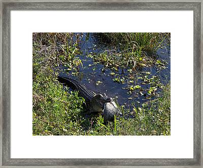 Framed Print featuring the photograph Alligator 020 by Chris Mercer