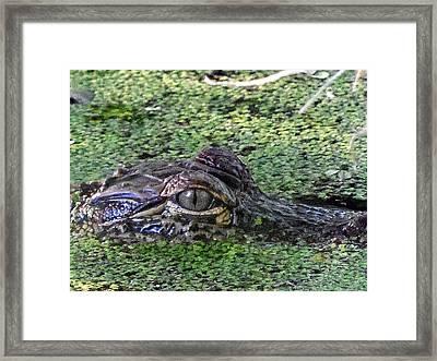 Alligator 027 Framed Print by Chris Mercer