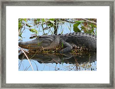 Alligator 2 Framed Print by Amanda Mohler