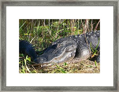 Alligator Framed Print by Amanda Mohler