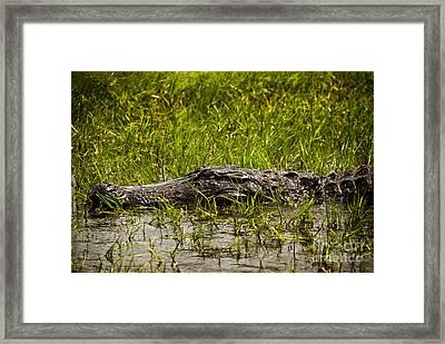 Alligator Amoungst Us Framed Print
