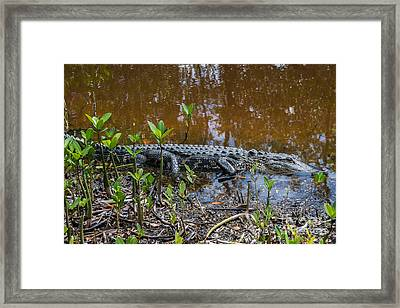Alligator Framed Print by Anne Kitzman