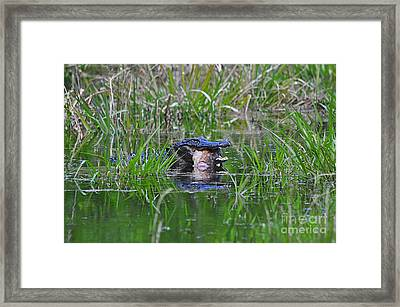 Alligator Appetite Framed Print by Al Powell Photography USA